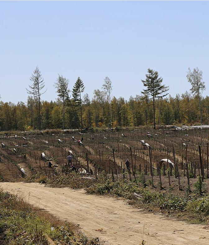 white ginseng harvesting